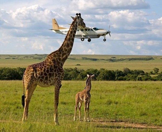 жирафы на фоне самолета