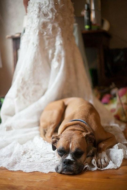 пес лежит на свадебном платье